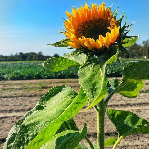 """<p>Brighten up your day by heading to Garsons' spectacular sunflower field. The award-winning garden centre not only has one of the biggest pick-your-own fields, but also heaps of gardening <a href=""""https://www.housebeautiful.com/uk/garden/g32755466/garden-accessories/"""" rel=""""nofollow noopener"""" target=""""_blank"""" data-ylk=""""slk:accessories"""" class=""""link rapid-noclick-resp"""">accessories</a> to buy and a lovely restaurant — perfect for recharging after a long walk. </p><p><a class=""""link rapid-noclick-resp"""" href=""""https://www.garsons.co.uk/about-us"""" rel=""""nofollow noopener"""" target=""""_blank"""" data-ylk=""""slk:MORE INFO"""">MORE INFO</a></p><p><a href=""""https://www.instagram.com/p/CHDs6XKHsaI/"""" rel=""""nofollow noopener"""" target=""""_blank"""" data-ylk=""""slk:See the original post on Instagram"""" class=""""link rapid-noclick-resp"""">See the original post on Instagram</a></p>"""
