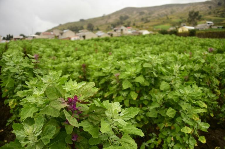 A field planted with quinoa in Colta, Chimborazo province in the central Ecuadorian Andes highlands, on January 25, 2017