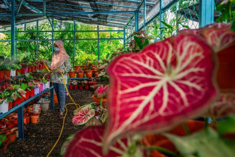 The broad-leaf caladium -- elephant ear plants -- are known for their colourful leaves with intricate patterns
