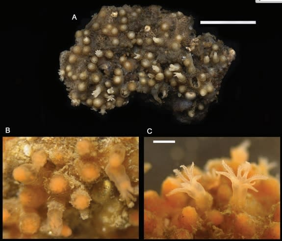 This coral, Cryptophyton jedsmithi, was found on the top of a tide pool overhang near San Diego.
