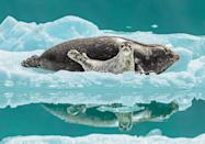 "According to NWF: Just as his guide boat was pulling away after a long day in Alaska's remote Tracy Arm-Fords Terror Wilderness, Mark Kelley saw the shot he had dreamed of for 40 years — a harbor seal mother and pup reflected in still water. Such reflections are rare in the ice-choked waters of this pupping site, says Kelley. Though he only had time to ""swing and shoot,"" he finally got his wish — and a perfect frame. MARK KELLEY, 2020 National Wildlife® Photo Contest"