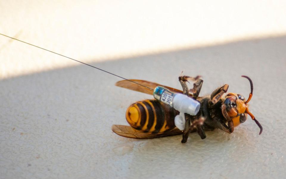 A hornet being fitted with a tracker. A few hornets can kill an entire nest of bees - AP