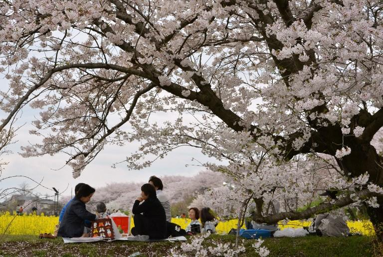 <p>Visitors look at cherry-blossoms in Satte, about 50 kilometers North of Tokyo April 8, 2016. Viewing cherry blossoms is a national pastime and cultural event in Japan, where millions of people turn out to admire them annually. / AFP PHOTO / KAZUHIRO NOGI </p>