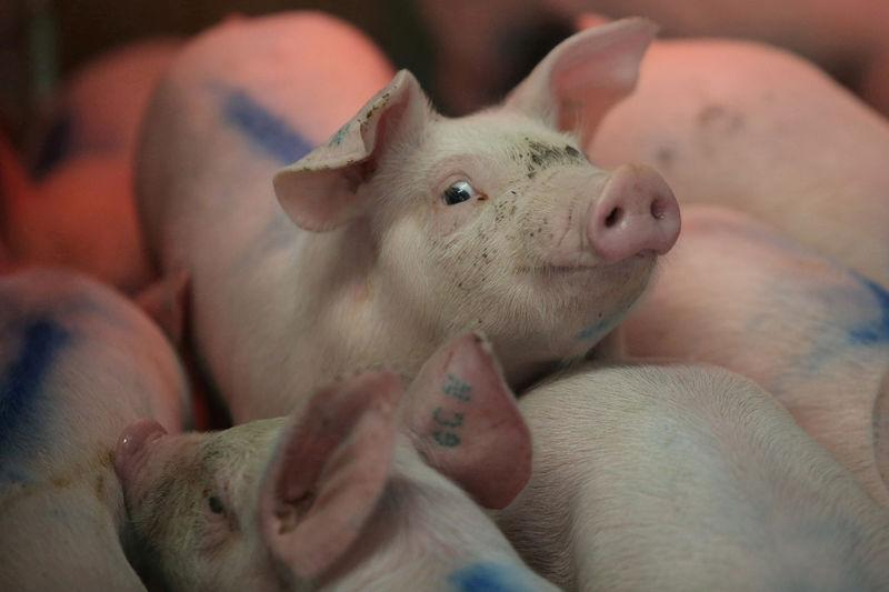 FILE PHOTO: Piglets are pictured in a production module at the pig farm Granjas Carrol de Mexico in Cuyoaco