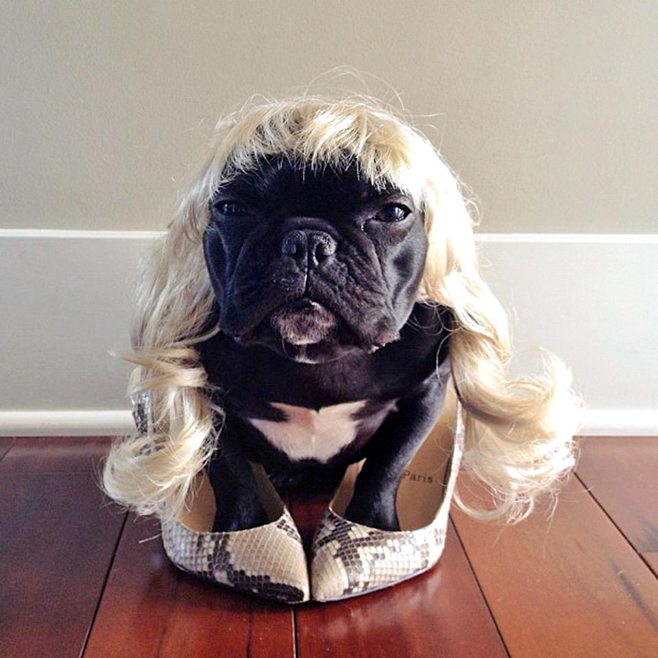 PIC BY SONYA YU / CATERS NEWS - (PICTURED: Trotter dressed up as her owner) - An adorable little French Bulldog has been playing dress-up and has impressively gathered a following of 30,000 on Instagram. The photogenic hipster, called Trotter, wears a range of outfits from a beret, moustache, top hat and pipe to high heels. Owner and Trotters photographer Sonya Yu said her little pup is simply a natural in front of the camera. SEE CATERS COPY