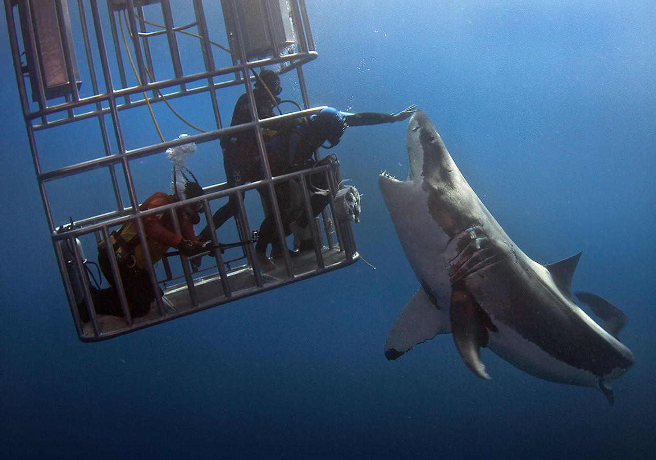 <p>Daredevil divers teasing a great white shark off the coast of Guadalupe Island, Mexico. (Photo: Dmitry Vasyanovich/Caters News) </p>
