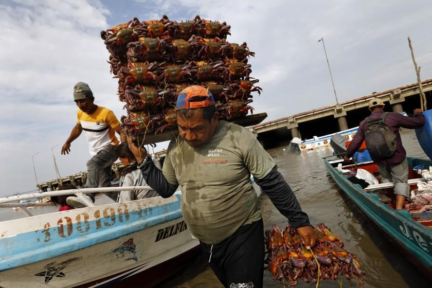 Guayaquil, Ecuador-Sept. 23, 2020-On the banks of the Rio Guayas, in Ecuador, men work to unload crabs and fish at a fish market. These crabs and catfish are caught mainly in the river waters, not effected by those fishing in international waters. The fish market was closed for many months as the COVID-19 pandemic hit the country of Ecuador hard, killing over 11,000 people. Still many workers do not wear masks. (Carolyn Cole/Los Angeles Times)