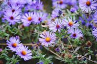 <p>Aster grows well in most of the U.S., thriving in USDA Hardiness Zones 3-8. These perennials bloom from summer through fall.</p>