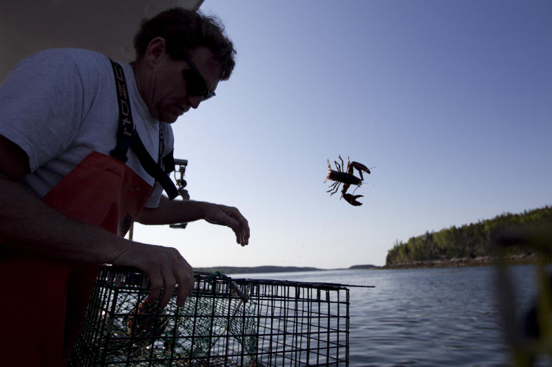 FILE - In this May 21, 2012, file photo, Scott Beede returns an undersized lobster while fishing in Mount Desert, Maine. The harvest of crustaceans in America's biggest lobstering state is usually in full swing by July, but fishermen say they aren't catching much so far this season. (AP Photo/Robert F. Bukaty, File)
