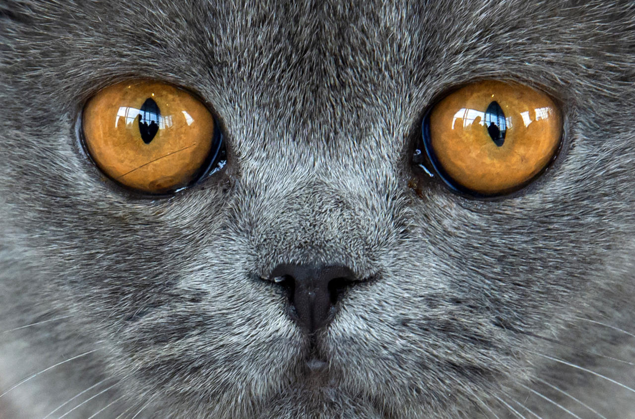 <p>British short hair cat 'Amber von der Feenlichtung' waits during an international dog and cat exhibition in Erfurt, Germany, June 16, 2018. (Photo: Jens Meyer/AP) </p>