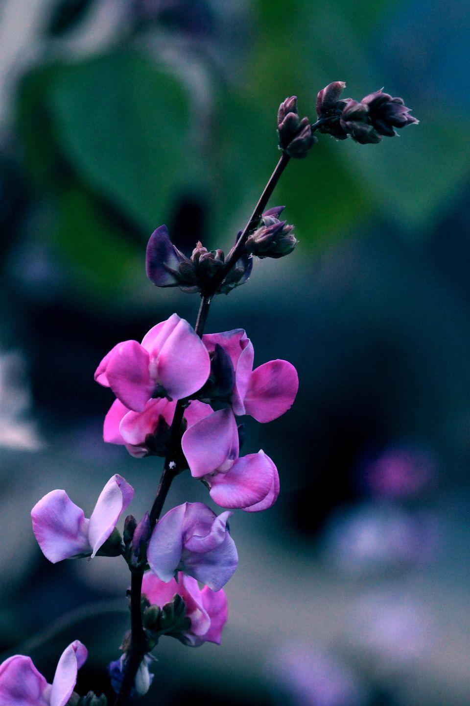 """<p>Hyacinth bean is a fast-growing ornamental vine with pretty pink or white flowers that thrive in heat. It needs a sturdy support as it can grow rapidly in one season. It likes full sun.</p><p><a class=""""link rapid-noclick-resp"""" href=""""https://go.redirectingat.com?id=74968X1596630&url=https%3A%2F%2Fwww.burpee.com%2Fflowers%2Fvines-and-climbers%2Fhyacinth-bean-vine-silver-moon-prod500768.html&sref=https%3A%2F%2Fwww.countryliving.com%2Fgardening%2Fgarden-ideas%2Fadvice%2Fg1456%2Ffast-growing-vines%2F"""" rel=""""nofollow noopener"""" target=""""_blank"""" data-ylk=""""slk:SHOP HYACINTH BEANS"""">SHOP HYACINTH BEANS</a></p>"""