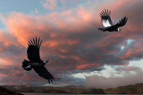 Andean condors in Patagonia - Credit: getty