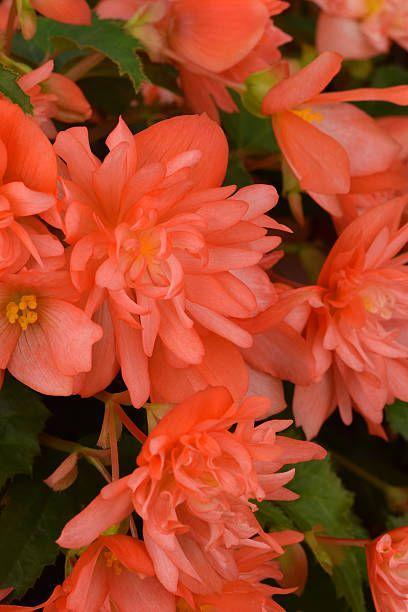 """<p>Begonias come in a ton of deep, saturated shades including white, pink, orange, rose, or red. They bloom continuously without deadheading (pinching off spent flowers) until a hard frost. They're almost impossible to kill! Some types are grown for their spectacular foliage. Most need part to full sun.</p><p><a class=""""link rapid-noclick-resp"""" href=""""https://www.provenwinners.com/plants/begonia/funky-orange-begonia-x-hybrida"""" rel=""""nofollow noopener"""" target=""""_blank"""" data-ylk=""""slk:SHOP BEGONIAS"""">SHOP BEGONIAS</a></p>"""