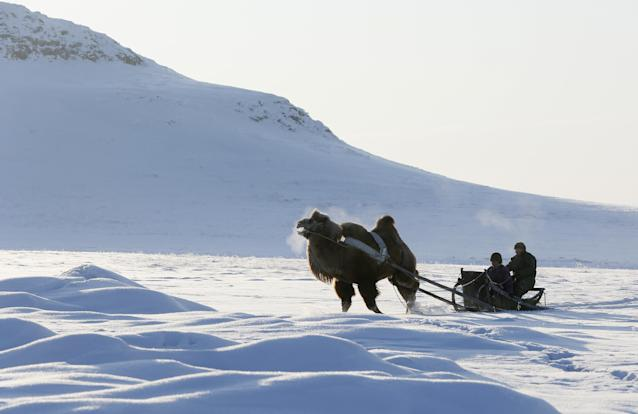 <p>Tuvan shepherds travel on a sled pulled by an Asian two-humped camel in the snow-covered steppe near the nomad camp of farmer Tanzurun Darisyu located in the Kara-Charyaa area south of Kyzyl town, the administrative center of the Republic of Tuva (Tyva region) in southern Siberia, Russia, on Feb. 14, 2018. (Photo: Ilya Naymushin/Reuters) </p>