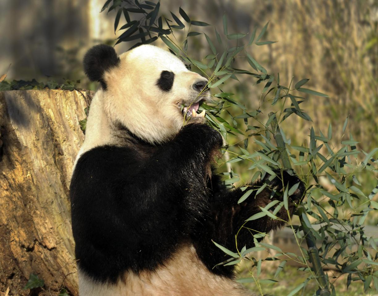 """Tian Tian, the male giant panda at the Smithsonian's National Zoo in Washington, eats breakfast, Monday, Dec. 19, 2011. The zoo announced a $4.5 million gift Monday to fund its giant panda reproduction program for five more years. Donator and philanthropist David M. Rubenstein, who is also co-founder and managing director of the Carlyle Group, said in a news conference, """"There are probably 10 million species on the face of the earth, and I doubt that any one of those species is more popular and more beloved than the giant panda."""" """"Hopefully this will result in more pandas being born here,"""" he said. (AP Photo/Susan Walsh)"""