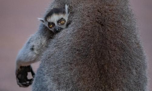 One of the baby lemurs clings to its mother at Chester zoo