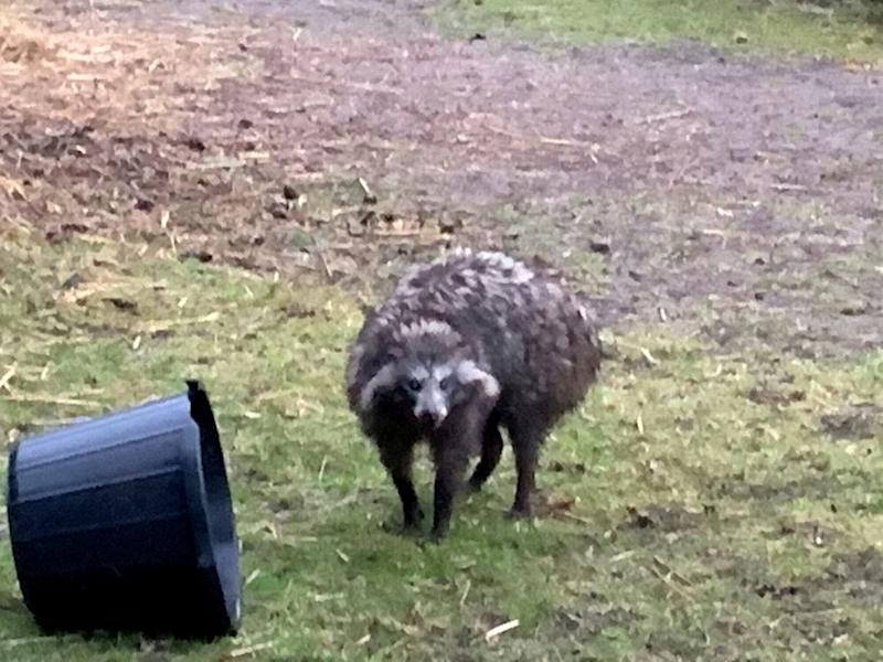 Escaped 'absolutely mad' raccoon dogs are terrorizing English village