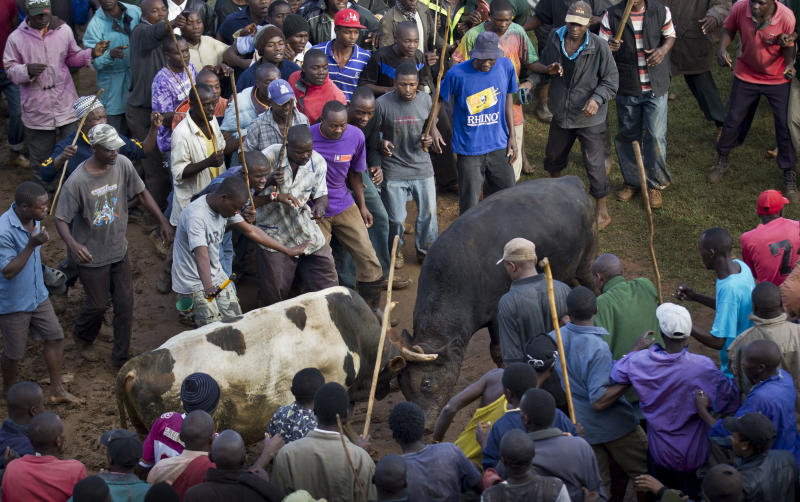A crowd of spectators encircles two fighting bulls at a bullfight in Khayega, Kakamega county, near Kisumu in western Kenya Saturday, Nov. 3, 2012. The traditional bullfights go back generations and are a matter of pride and prestige for the bull-owners, taking place each weekend and featuring two highly-prized bulls from different villages fighting each other until one flees in defeat, after having been fed a secret herbal concoction during the preceding day which often includes marijuana, known locally as bhang. (AP Photo/Ben Curtis)