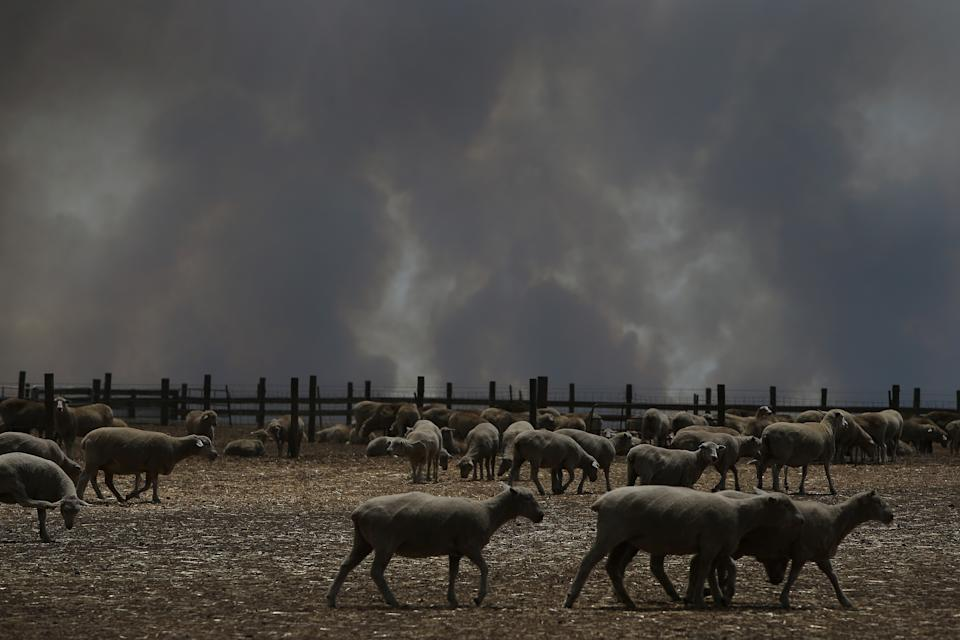 KANGAROO ISLAND, AUSTRALIA - JANUARY 09: A large smoke plume is seen over a sheep property in the Parndana region on January 09, 2020 in Kingscote, Australia. Residents of the Kangaroo Island township of Parndana and Vivonne Bay have been told to evacuate as bushfire threatens the areas. The fire, which has been burning since last week and claimed two lives, had been downgraded to advice level but has now been upgraded, with watch and act messages current for two separate fire fronts. More than 155,000 hectares of land has been burned on Kangaroo Island since 4 January, and at least 56 homes were also destroyed.  (Photo by Lisa Maree Williams/Getty Images)