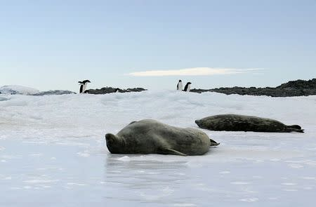 Adelie penguins walk behind Weddell seals lieing atop ice at Cape Denison, Commonwealth Bay, East Antarctica