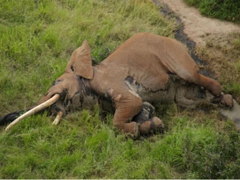 Satao II was found dead in January after being shot with a poisoned arrow: Tsavo Trust