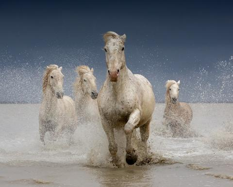 The iconic horses of the Camargue - Credit: BARBARA NEAL/IMAGES FROM BARBANNA