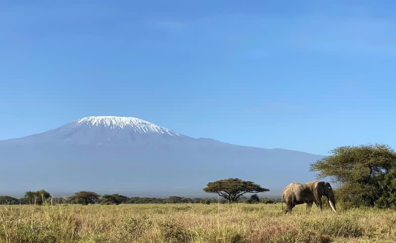 An elephant walks within the Kimana Sanctuary within the Amboseli ecosystem in Kimana