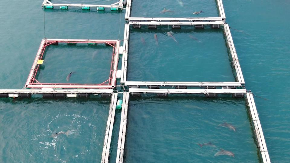 Dolphins held in sea pens in Taiji.