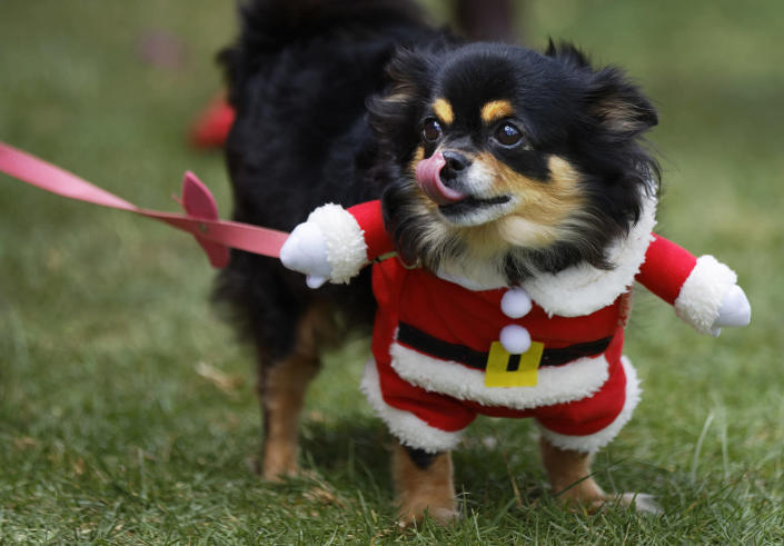 """<p>Chica, six-years, a long-haired Chihuahua wears a fancy dress Santa Claus outfit at the """"Shaggy Dog Show"""" organised by the Kenya Society for the Protection and Care of Animals (KSPCA), in Nairobi, Kenya on Nov. 6, 2016. (AP Photo/Ben Curtis) </p>"""