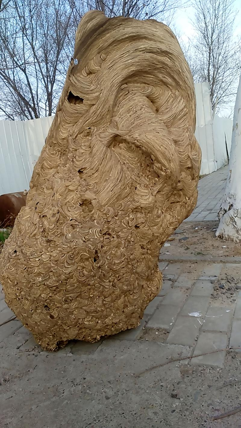 Pic Shows: The 6-foot wasp nest found in Zhang Juwei's home; This is the huge wasp nest found in a newly built home which went unoccupied for so long it was taken over by the colony of flying insects.