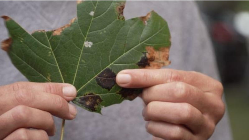 'Highly invasive' tree putting our iconic sugar maple at risk