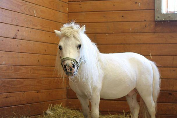 PHOTO: Waffles, a 6-year-old miniature horse, will soon be up for adoption at the Bucks County SPCA in Bucks County, Pa. (Courtesy Bucks County SPCA)