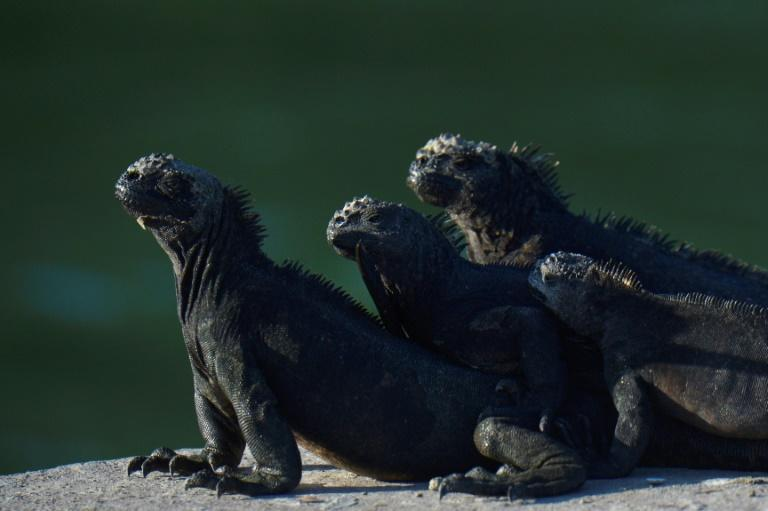 Marine iguanas bask in the sun at the Galapagos National Park on Santa Cruz Island, in the Galapagos Islands west of Ecuador