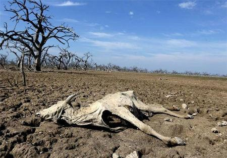 A dead cow is seen on dried up grounds in Shahreza, Iran in this undated picture. Tasnim News Agency/ via REUTERS