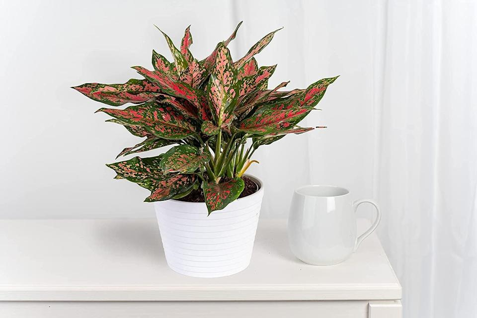 <p>Who knew Amazon even had live plants!? Add a little green to your home with the <span>Costa Farms Trending Tropicals Aglaonema Live Indoor Plant</span> ($30). </p>