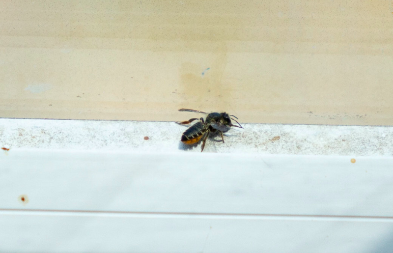 The bee hitched a ride into Britain in luggage (SWNS)