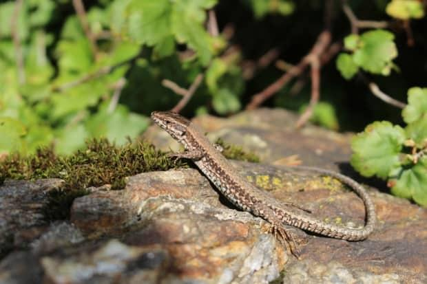 The common wall lizard, seen in a file photo, was introduced to southern Vancouver Island in 1967. They're now estimated to number in the hundreds of thousands, and have been spotted eating pollinating bees and newborn garter snakes. (Shutterstock / RukiMedia - image credit)