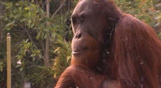 Zookeepers hope the new technology will keep Malu entertained to prevent future escape attempts. Picture: 7 News