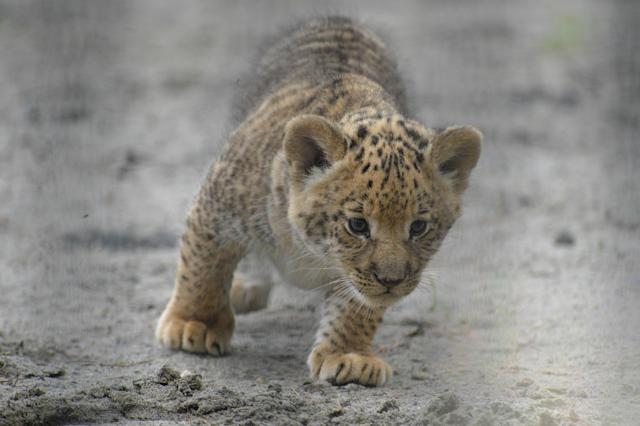 In this Tuesday, June18, 2013 photo, a month-old liliger cub walks in Novosibirsk Zoo. The cub's mother is Zita, a liger - half-lioness, half-tiger, and father is a lion, Sam. (AP Photo /Ilnar Salakhiev)