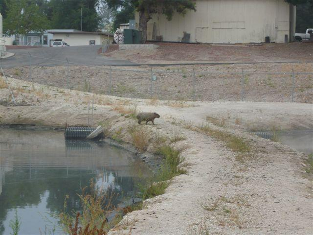 "It's the third sighting in as many years of a capybara in the Paso  Robles area. Officials believe it's the same rodent for all three  sightings. (<span class=""yui-editorial-embed"">KION46/Fox35</span>)"
