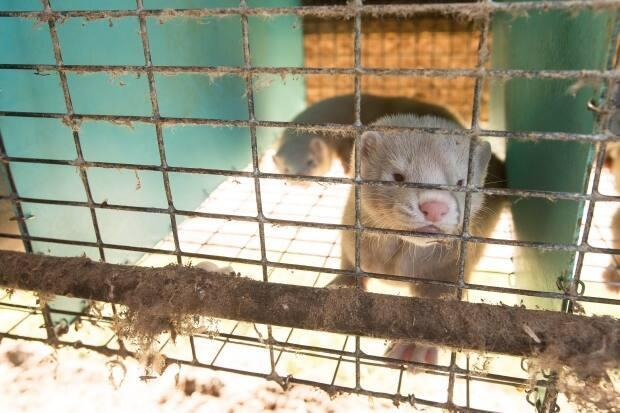 A mink looks out of its pen at an Ontario farm in this file photo. Nova Scotia has more than 40 mink farms, which house about 168,000 mink.  (Geoff Robins/The Canadian Press - image credit)