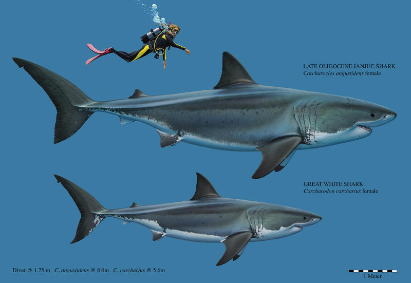The prehistoric mega-toothed shark was double the size of a great white.