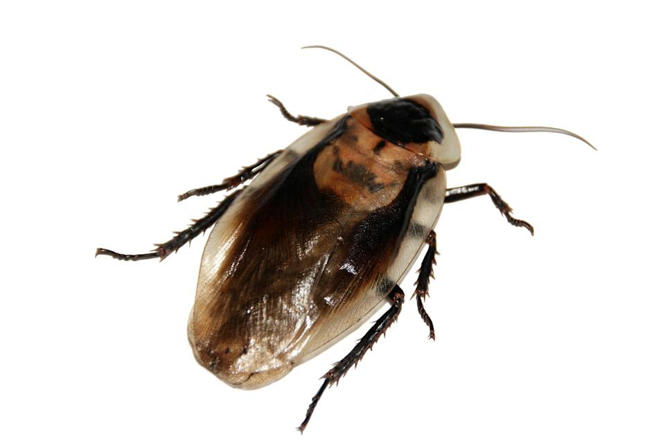 <p>Forget Giraffe's milk – scientists have found that cockroach milk is highly nutritious, with almost four times the energy of cow's milk [Photo: Pixabay] </p>