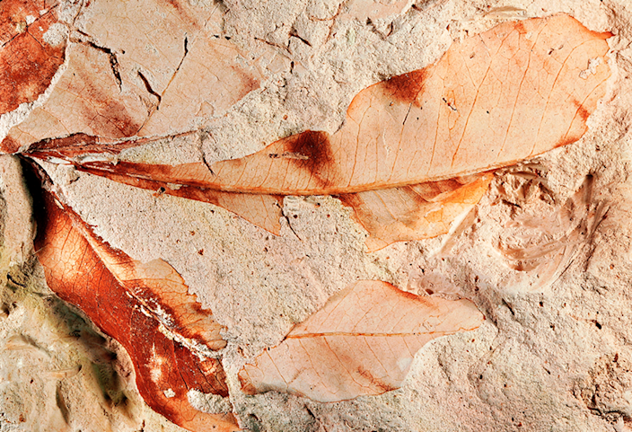 Fossilized leaves with clear detail.