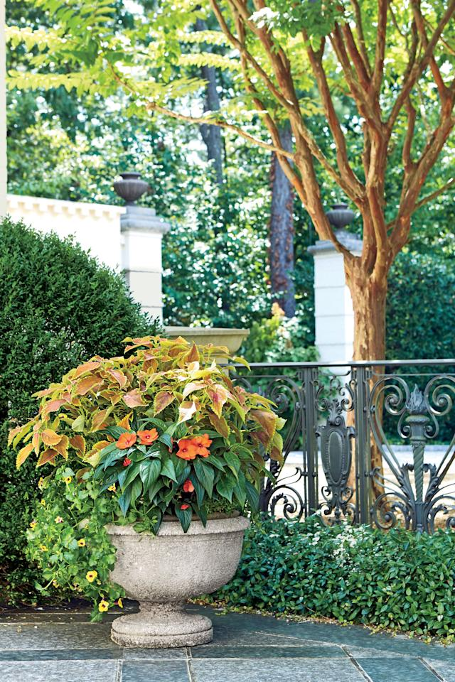 <p>For a late-summer container that steals the show, make bold foliage the focal point. This easy-care, end-of-season planter uses vibrant 'Rustic Orange' coleus (Solenostemon scutellarioides), identified by its rusty-hued leaves that will last until the first frost. The filler in this space-saving pot is 'Compact Hot Coral' SunPatiens (Impatiens sp.), which has tiny tangerine blooms and dark, shiny leaves that contrast nicely with the bronze-toned coleus. Finally, 'Yellow Moon' wishbone flower (Torenia sp.) adds even more lush greenery to the arrangement and offers petite yellow petals with purple throats. This is a thirsty container, so you'll need to make sure it stays well watered. Place it in full sun or partial shade.</p>