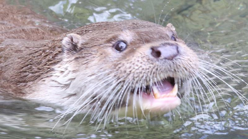 Otter Wanted For Devouring Koi At Formal Garden May Have Made A Clean Getaway