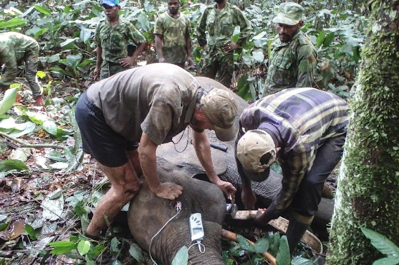 The authorities are waging virtual war on the lucrative ivory trade and the poachers who come from neighbouring Cameroon and Congo, driving deep into Gabon in militarised columns with shooters, trackers and porters (AFP Photo/STRINGER)