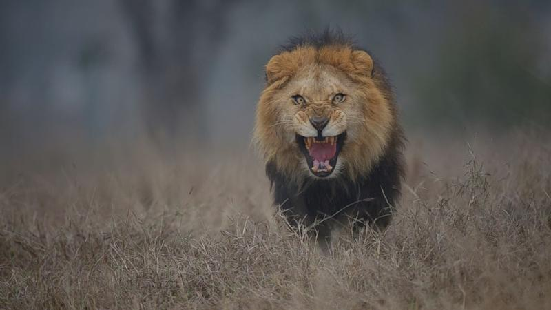 Photographer's Chilling Image of Attacking Lion Will Put Terror in Your Heart