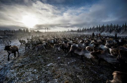 A reindeer's perilous journey in Swedish Lapland