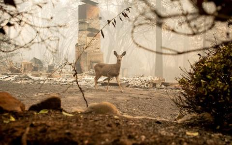 A deer looks on from a burned residence after the Camp fire tore through the area in Paradise, California - Credit: AFP